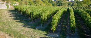 Vue sur une partie du vignoble du Domaine de la Perruche
