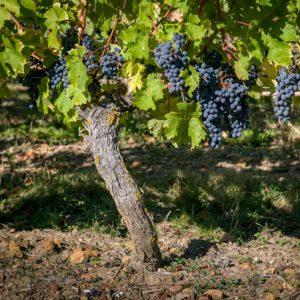 Domaine de la Perruche - Détail d'un pied de vigne