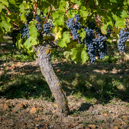 Domaine de la Perruche - Détail des pieds de vigne